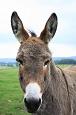 Donkey - Randy Fox